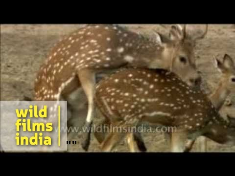 Spotted Deer tries but fails to mate!