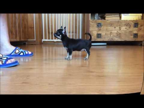 For sale female chihuahua LADA  dob 19 03 2016