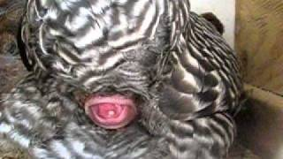 Chicken Lays Egg 4-9-11.AVI
