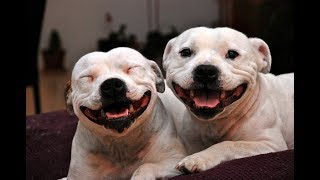 Funny Staffordshire Bull Terrier Videos 2017 - Funny Dogs Video