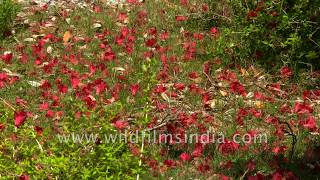 Rhododendron petals scattered on the forest floor, at wildfilmsindia Himalayan wildlife sanctuary