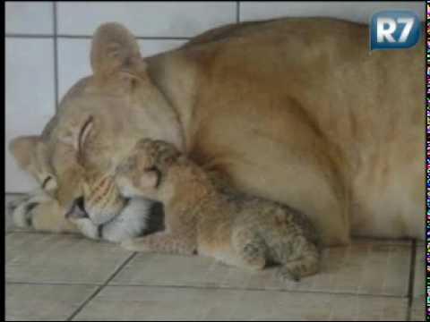 PROJETO GAP Filhote de leão nasce em santuário de Sorocaba