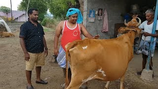 Milking Cow For The First Time