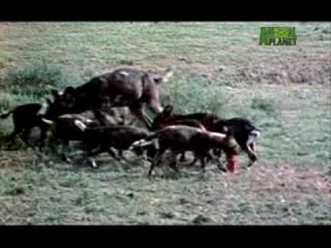 Ultimate Animal Dads Wild Dogs