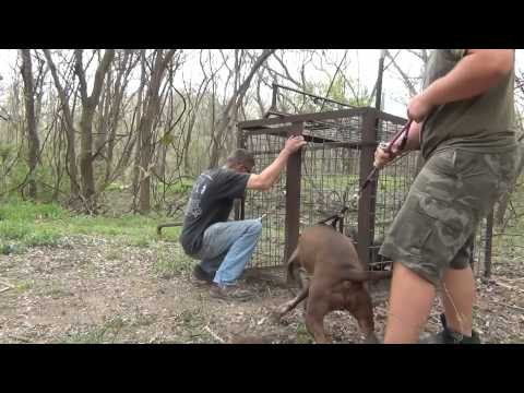 Hog Trap 28 3 Little Pigs and a Pit Bull