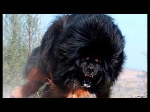 Los 10 Perros más Grandes del Mundo The Greatest Dog World