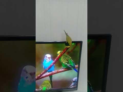 Çıldırsın muhabbet kuşunuz part 2 erkek kuş sesi.