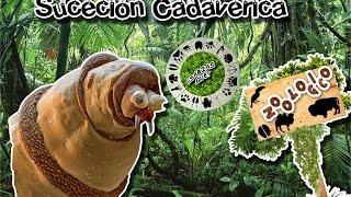 Sucesión cadavérica |Entomología forense de un crimen| (Zoológico virtual) | ¿Sabias Qué?|