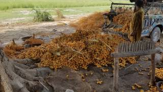 Dangerous ? : Cooking yellow edible DATES with Sodium Formaldehyde Suphoxalate  In Pakistan