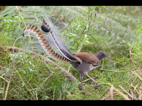 Burung Pintar Tiru Suara Senapan