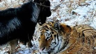 Timur The GOAT that befriended TIGER meets media in Russia