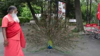 Peacock dance in Buenos Aires Zoo, Argentina ~ Also African Grey, Hahn's Macaws of Shuka Vana