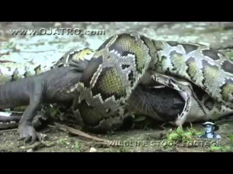 boa constrictor se traga a un cocodrilo completo