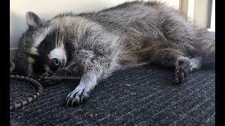 Gracie Raccoon - Part 23 The Long Siesta