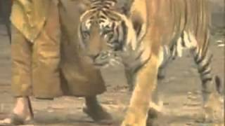 Tigers and Monks   YouTube 360p