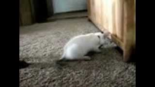 SILLY KITTY FIGHTS DOBERMAN WITH TWO FURRY PAWS