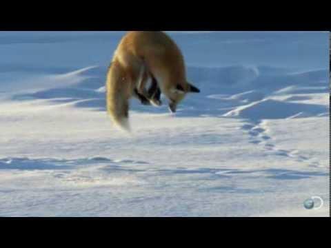 как ловит лиса мышей
