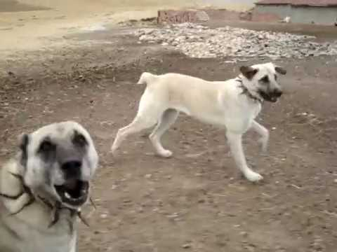 coban köpekleri
