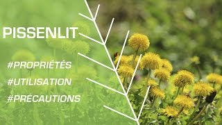 Comment utiliser le pissenlit ? - Phytothérapie