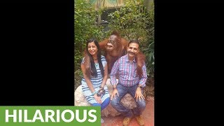 Orangutan hilariously poses for pictures with people