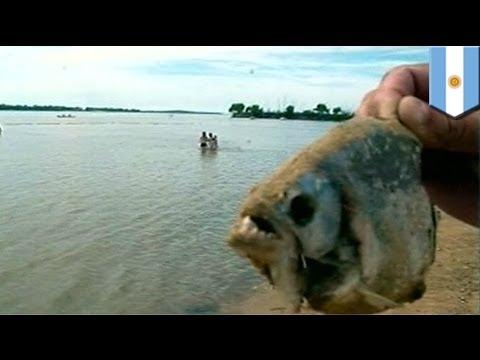 Xxx Mp4 Piranha Attack 70 Injured By Piranhas In Argentina S Parana River 3gp Sex
