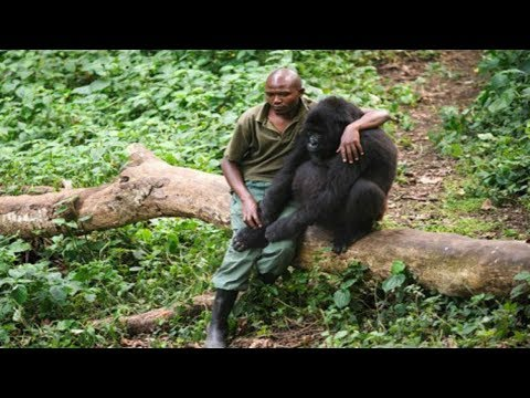 This Fearless Man Comforts A Gorilla Who Just Lost Her Dear Mom