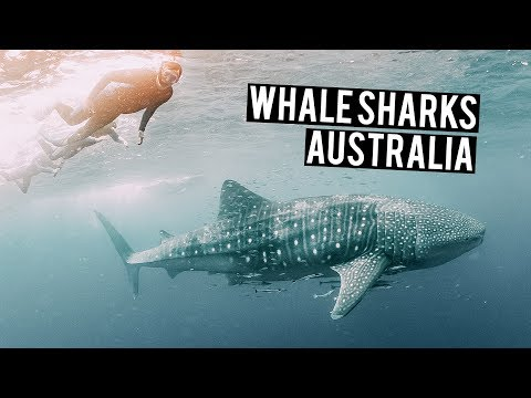 Swimming with WHALE SHARKS in Ningaloo Reef Australia Road Trip