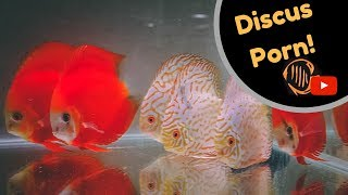 Discus fish room tour. Martin Ng Discus @ Corban Discus