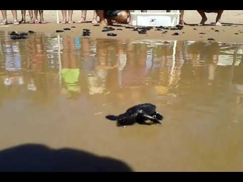 Soltura das Tartarugas projeto Tamar na Bahia.