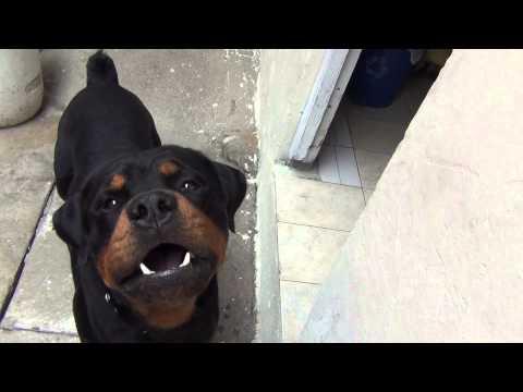 rottweiler ataca a su dueño¡¡rotwailer asesinos lo mejor del mundo