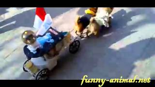 Dogs pulling royal cart for cat, funny 猫咪坐皇家狗车巡街, 很喜气啊