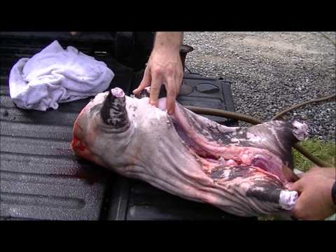 How to kill and process a small hog for smoking graphic