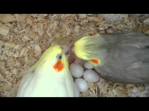Our Cockatiels P chan & Pebble Feeding Their Baby 3 days old