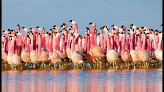 Le spectacle fou des flamants roses - ZAPPING SAUVAGE