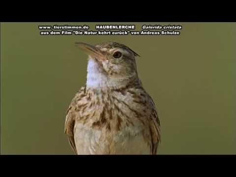 Haubenlerche Vogelstimmen