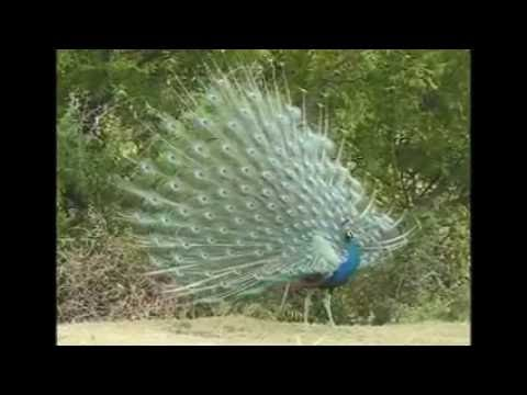 Xxx Mp4 Peacock Amazing Mating Display 3gp Sex