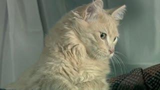 Le chat : Races, Origines, Caractérisques, Personnalités & Soins