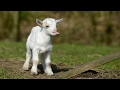 Most Funny And Cute Baby Goat Videos Compilation