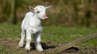 Most Funny and Cute Baby Goat Videos (2017)