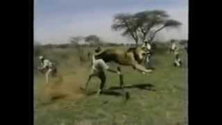 Lion Attacks Man (Horrific Lion Attack!)