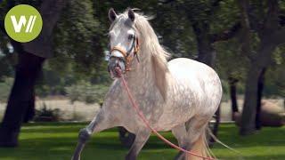 Le cheval espagnol , un cheval d'exception