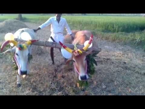 Xxx Mp4 Tamil Mattu Pongal Celebration Vedavakkam Village 3gp Sex