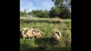 Two Gals and Sows