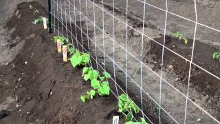 Growing Cucumbers Vertically