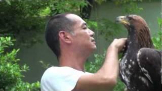 Golden Eagle Training, Maning