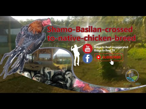 Shamo Basilan crossed to native chicken breed