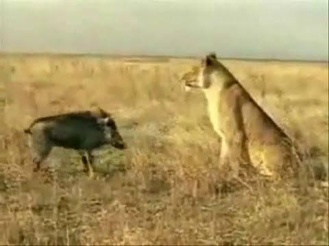 Xxx Mp4 Pig Won Vs A Lion A Great Lesson 3gp Sex