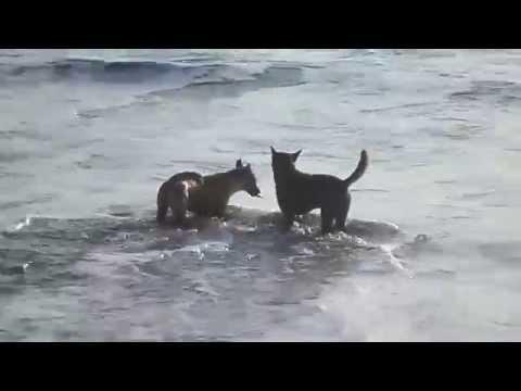 Anjing di Laut. (bukan) Anjing Laut. Dogs in the sea. (not) Seals