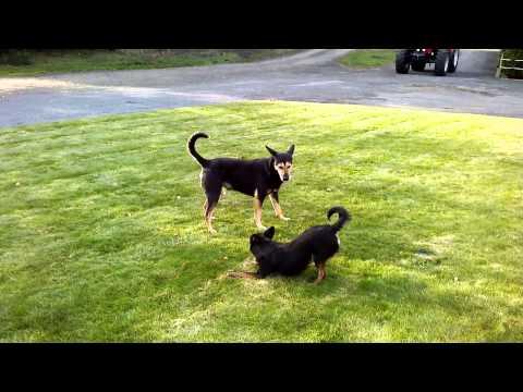 Śmieszne walki psów