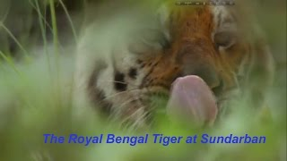 Sundarban in India | Royal bengal Tiger Attack in 2016-17 full movie